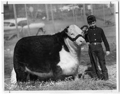 Grand Champion Steer, Ft. Worth, 1959. Just goes to show how drastically the beef industry has changed in the past 50 years!