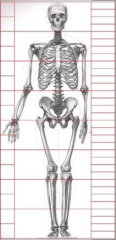 Exceptional Drawing The Human Figure Ideas. Staggering Drawing The Human Figure Ideas. Human Figure Drawing, Figure Drawing Reference, Anatomy Reference, Human Anatomy Drawing, Body Drawing, Scull Drawing, Human Skeleton Anatomy, Human Anatomy For Artists, Body Anatomy