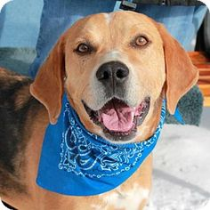 Garfield Heights, OH - Catahoula Leopard Dog/Bloodhound Mix. Meet Lance, a dog for adoption. http://www.adoptapet.com/pet/14816382-garfield-heights-ohio-catahoula-leopard-dog-mix