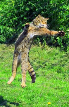 Full Stretch Scottish Wild Cat Ian Rentoul