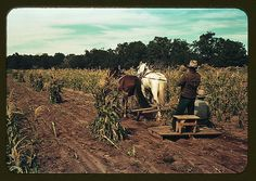 Gathering corn in the field, Pie Town, New Mexico , 1940