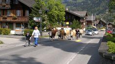 Transumanza a Gstaad