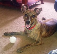 Valerie is an adoptable Whippet Dog in Cincinnati, OH. Hi Folks!!! My name is Valerie but my foster mommy calls me Ziggy because I zig-zag when I run and play in the yard. I'm about 1 1/2 years old....