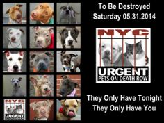 TO BE DESTROYED - 05/31/14 PITTIES ARE IN DANGER AGAIN. ALL THESE DOGS COUNT ON US!!! LET'S NOT LET THEM DOWN!!! PLEASE OPEN YOUR HEARTS AND PLEDGE, TAKE THEM HOME, BUT BE QUICK AS TIME IS TICKING AWAY. THE LIST IS VERY LONG AGAIN AND WE WE HAVE SOLITTLE TIME SO BE QUICK WHEN MAKING UP YOUR UP.  https://www.facebook.com/media/set/?set=a.611290788883804.1073741851.152876678058553&type=3