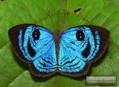Borboletas e Mariposas: Semomesia croesus (Fabricius, 1777)