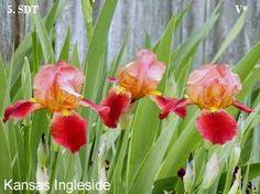 Kansas Ingleside   Historic Iris Preservation Society