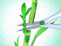 How to Grow Lucky Bamboo. Lucky bamboo is an easy-to-care-for houseplant that grows well in low, indirect light. This plant, which isnt really bamboo at all, but instead is a type of tropical water lily called Dracaena sanderiana, is from. Water Plants, Potted Plants, Garden Plants, Plant Growth, Plant Care, Indoor Bamboo, Lucky Bamboo Plants, How To Grow Bamboo, Lucky Bamboo Care