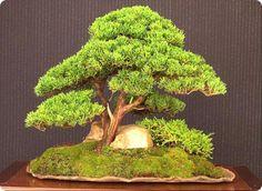 Il Juniperus chinensis è un genere di arbusti di conifere molto popolare come Bonsai. Tree Story, Bonsai, Herbs, Genere, Nice, Top, Herb, Nice France, Crop Shirt
