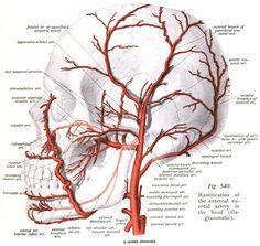 External carotid artery with branches - Deep temporal arteries - Wikipedia Nerve Anatomy, Head Anatomy, Brain Anatomy, Human Anatomy And Physiology, Anatomy Art, Dental Anatomy, Medical Anatomy, Arteries Anatomy, Internal Carotid Artery