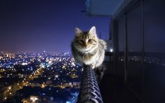 Courageous cat sits above the city -. Animal Wallpapers. HD Wallpaper Download for iPad and iPhone Widescreen 2160p UHD 4K HD 16:9 16:10 1080p 720p Android