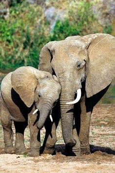 Mama elephant and baby elephant by Sara Bald Elephants Never Forget, Save The Elephants, Mama Elephant, Elephant Love, Elephant Photography, Animal Photography, Wildlife Photography, Amazing Photography, Elephant Pictures