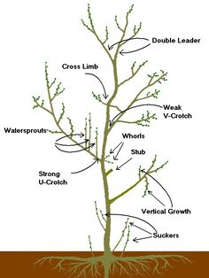 Prune Your Fruit & Nut Trees – Living Off Grid Guide Espalier Fruit Trees, Fruit Tree Garden, Garden Trees, Trees And Shrubs, Trees To Plant, Bonsai Trees, How To Prune Trees, Bonsai Pruning, Indoor Lemon Tree
