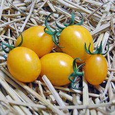 Heirloom Tomato Morning Sun エアルーム・トマト・モーニング・サン