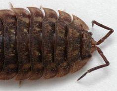 Female Common woodlouse (Oniscus asellus)