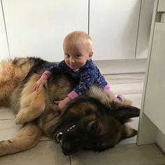 Morning shenanigans with the little human  : @loki_the_shep #LimitlessDog #GermanShepherd #GermanShepherds #GSD