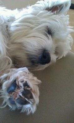 Westie... Frosty is soooo tired.