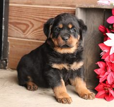 🐾❣️These #Rottweiler puppies are #healthy, #strong, and #adorable. They will grow up to be your #loyal and #protectivefriend. If you have been looking for a companion to spend the winter with, look no further. #Charming #PinterestPuppies #PuppiesOfPinterest #Puppy #Puppies #Pups #Pup #Funloving #Sweet #PuppyLove #Cute #Cuddly #Adorable #ForTheLoveOfADog #MansBestFriend #Animals #Dog #Pet #Pets #ChildrenFriendly #PuppyandChildren #ChildandPuppy #LancasterPuppies… Rottweiler Breeders, Rottweiler Puppies For Sale, New Puppy, Puppy Love, Lancaster Puppies, Animals Dog, Mans Best Friend, Strong, Pets