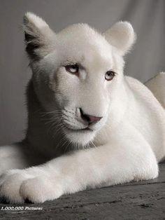 Lionne Blanche <3 ***