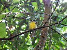 Foto cambacica (Coereba flaveola) por Jessica Amparo | Wiki Aves - A Enciclopédia das Aves do Brasil