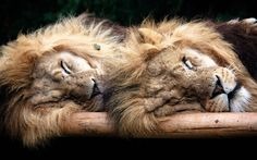 Two lions named Tiny and Manzi laze in the sun at the Wildlife Heritage Foundation in Kent, England.