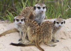 meerkat - Google keresés