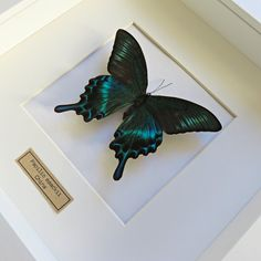 Real butterfly, wooden frame, shadow box The butterfly Latin name: Papilio maackii Origin: China Wingspan : +/- 10 cm NICE DETAIL: on the upper wings you see some kind of black fur!