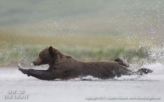 Brown bear diving stretch - Brown bear stretching to reach salmon, AK Charles Glatzer 500px