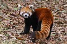 red pandaa!
