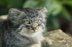 Pallas Cat kitten | Flickr - Photo Sharing!