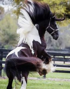 Gorgeous, Beautiful horsse rearing up with wild tossed mane.Wow!