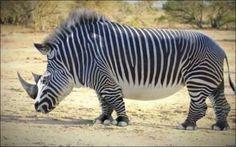 Zebras eignen sich einfach sehr gut als Vorlage für witzige Tierkreationen.