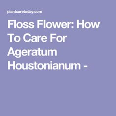 Floss Flower: How To Care For Ageratum Houstonianum -