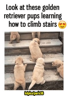 Golden retriever pups funny pics, funny gifs, funny videos, funny memes, funny jokes. LOL Pics app is for iOS, Android, iPhone, iPod, iPad, Tablet