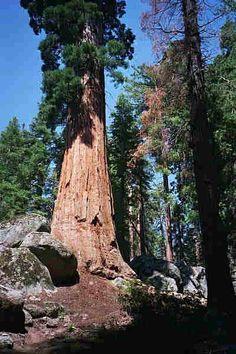 Sequoia sempervirens - Catálogo de Intersemillas