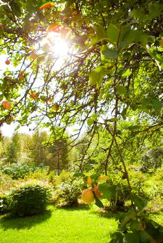 """Buy the royalty-free Stock image """"Apple tree in a garden with sunlight coming through"""" online ✓ All image rights included ✓ High resolution picture for . High Resolution Picture, Apple Tree, Sunlight, Golf Courses, Garden, Tips, Garten, Lawn And Garden, Nikko"""