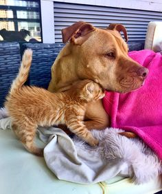 Rescue Pit Bull Gets His Own Kitty, Loves Her Like A Daughter | Funny Images And Videos