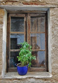 Basil growing in a blue enamel soup pot in front of a stone cottage window
