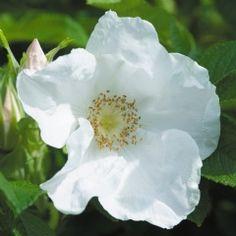 Rosa rugosa alba - David Austin Roses