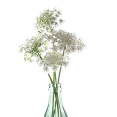 Botanical Print Floral Art Print Nature Queen Anne's Lace Still Life... ($12) ❤ liked on Polyvore featuring home, home decor, wall art, whimzingers, textured wall art, floral home decor, white wall art, white home accessories and photo poster