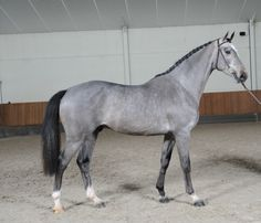 Houston - BWP-Belgian Warmblood-from Wiki-only difference between Belgium Warmblood and the Belgian Sport Horse is the location in Belgium, each has own Studbook, N.Belgium register with BWP, S. with sBs, sBs leisure horses, after WWll imports from France, England, Ireland, Germany and Netherlands were foundation stock for the BWP Sport Horse, modern bred specifically for Show Jumping, dressage, eventing, show hunters, colors most common are chestnut, bay, brown, black, gray, rarely pinto.