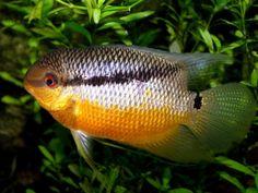Mesonauta insignis: flag cichlid Tropical Aquarium, Tropical Fish, Aquarium Fish, Aquarium Ideas, Aquarium Design, Tropical Freshwater Fish, Freshwater Aquarium, South American Cichlids, Flower Landscape