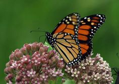 A female monarch collects nectar from a milkweed flower. (Photo: Lincoln Brower)