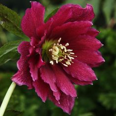 Helleborus 'Harvington Hybrids'  Double Red  Lenten Rose. Large double red flowers in late winter/early spring. Evergreen, dark green foliage. Well drained fertile soil in shade or part shade.  Duchy of Cornwall Nursery