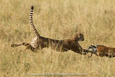 Cheetah chasing gazelle
