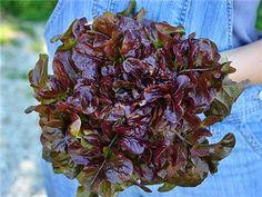 Lunix Lettuce