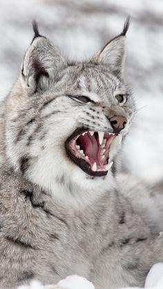 lynx,