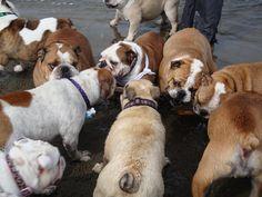 ❤ Big stick - lots of interest ❤The San Francisco English Bulldog Meetup Group (San Francisco, CA)