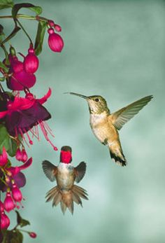 Saw hummingbirds every morning sitting down by the pool while on our honeymoon in Santa Rosa.