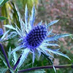 They like shade!! Sea Holly is a very fancy thistle, and it really is this blue. An easy to grow perennial, it's long been a favorite in English cutting gardens, but will grow almost anywhere. The metallic blue flowers