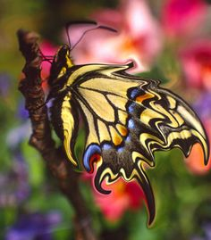 fluttering birthtrance/ the swallowtail/ lays her eggs  (haiku by susan)